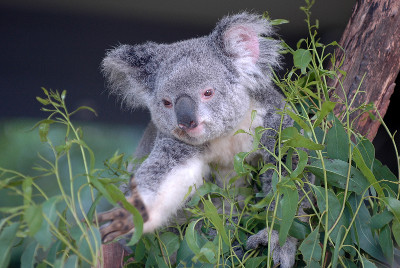 Photo of a koala reaching for a branch of gum leaves.